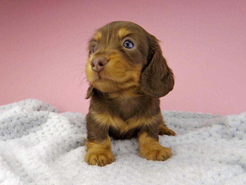 カニンヘン ダックスフンド ナンシーcs & ナイトの子犬 チョコタン 男の子