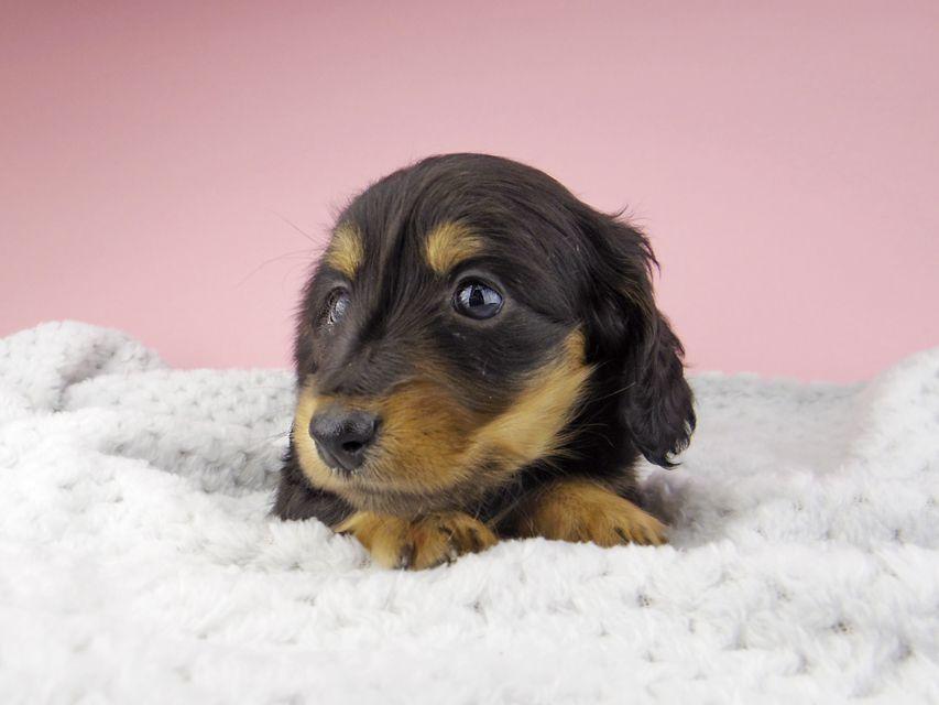 カニンヘン ダックスフンド ナンシーcs & ナイトの子犬 ブラックタン 女の子