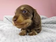 すずhp & 朝日の子犬 チョコイエロー 男の子