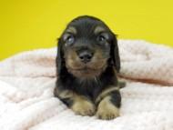 コトhp ロックスの子犬 ブラックイエロー(ブラッククリーム) 男の子