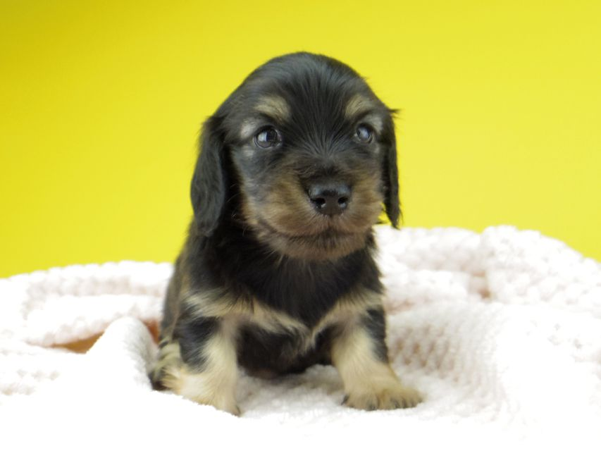 カニンヘン ダックスフンド コトhp ロックスの子犬 ブラックイエロー(ブラッククリーム) 男の子