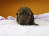 オリーブ & ブルースの子犬 レッド 男の子