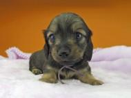 オリーブ & ブルースの子犬 イエロー(クリーム) 男の子