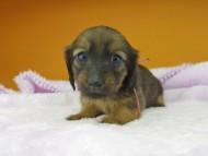 オリーブ & ブルースの子犬 レッド 女の子(2)