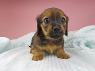 オリーブ & ブルースの子犬 レッド 女の子(1)