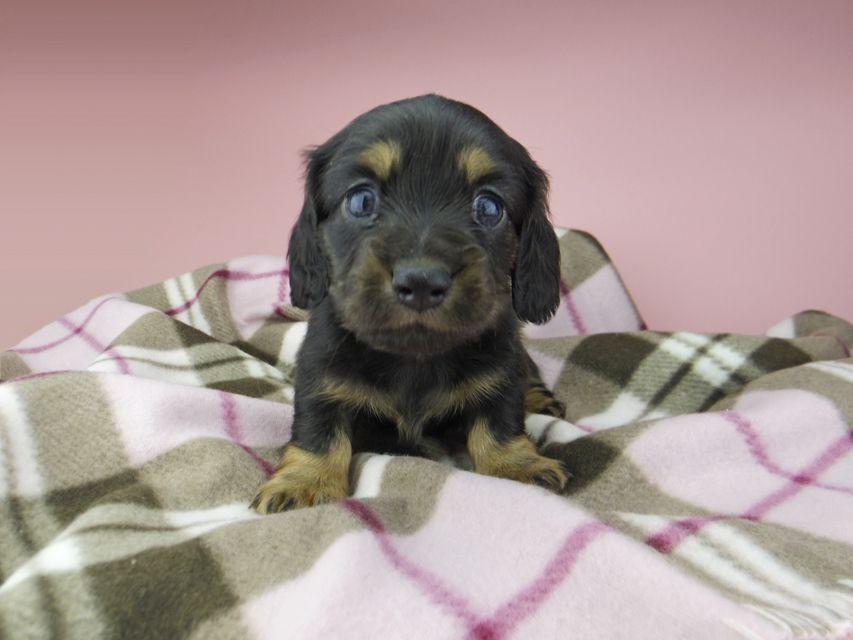 カニンヘン ダックスフンド セーラ & 朝日の子犬 ブラックタン 女の子