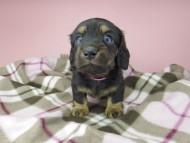 セーラ & 朝日の子犬 ブラックタン 女の子