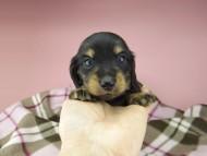 セーラ & 朝日の子犬 ブラックイエロー(ブラッククリーム) 女の子(1)