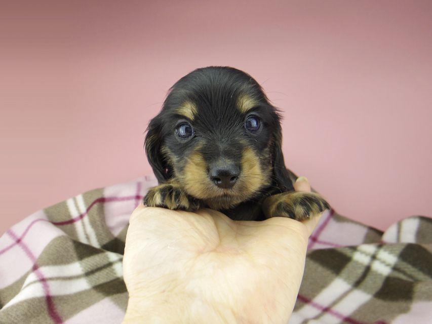 カニンヘン ダックスフンド セーラ & 朝日の子犬 ブラックイエロー(ブラッククリーム) 女の子(1)