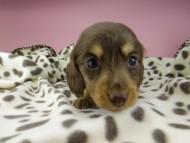 ジル & ナイトの子犬 チョコタン 女の子(1) ハイクラス