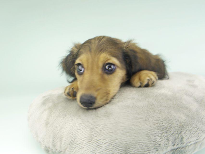 カニンヘンダックスフンド ニコmt & ビルズmtの子犬 シェーデットイエロー(シェーデットクリーム) 女の子