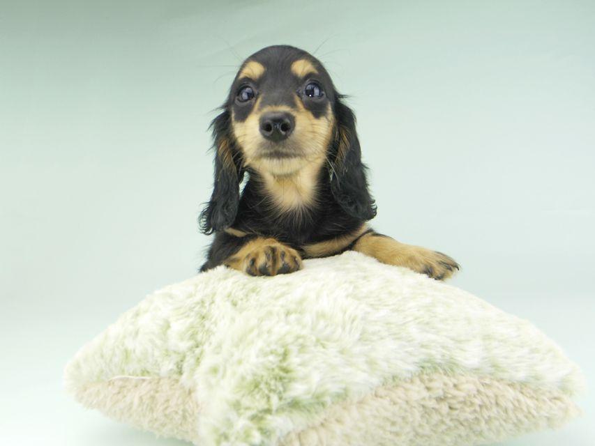 カニンヘンダックスフンド ビーmt & ボンmtの子犬 ブラックイエロー(ブラッククリーム) 女の子