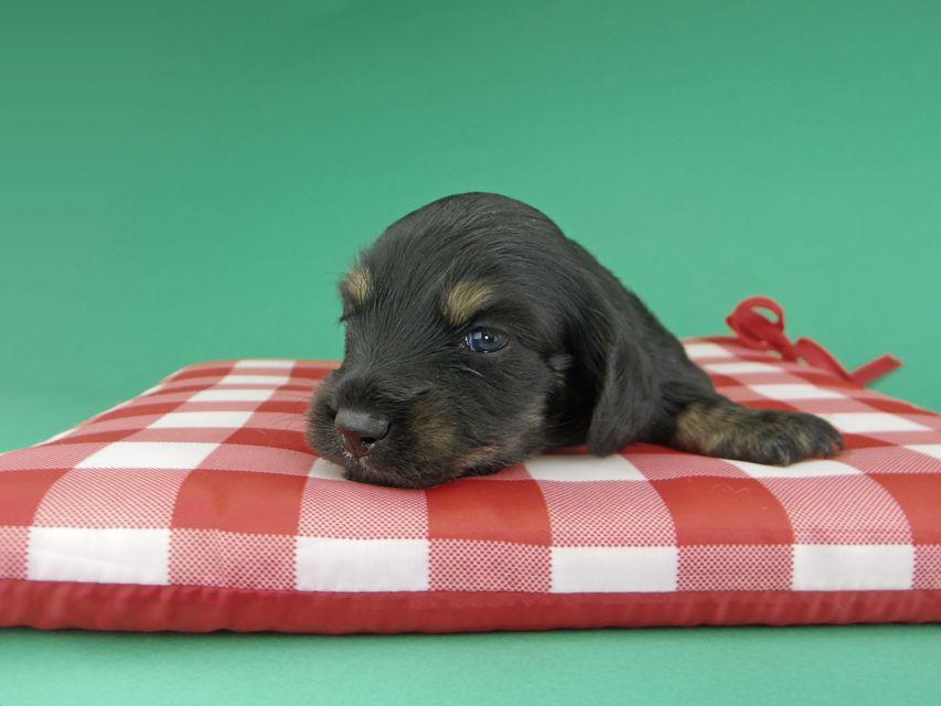 カニンヘンダックスフンド ジャム & ブルースの子犬 ブラックイエロー(ブラッククリーム) 男の子(1)