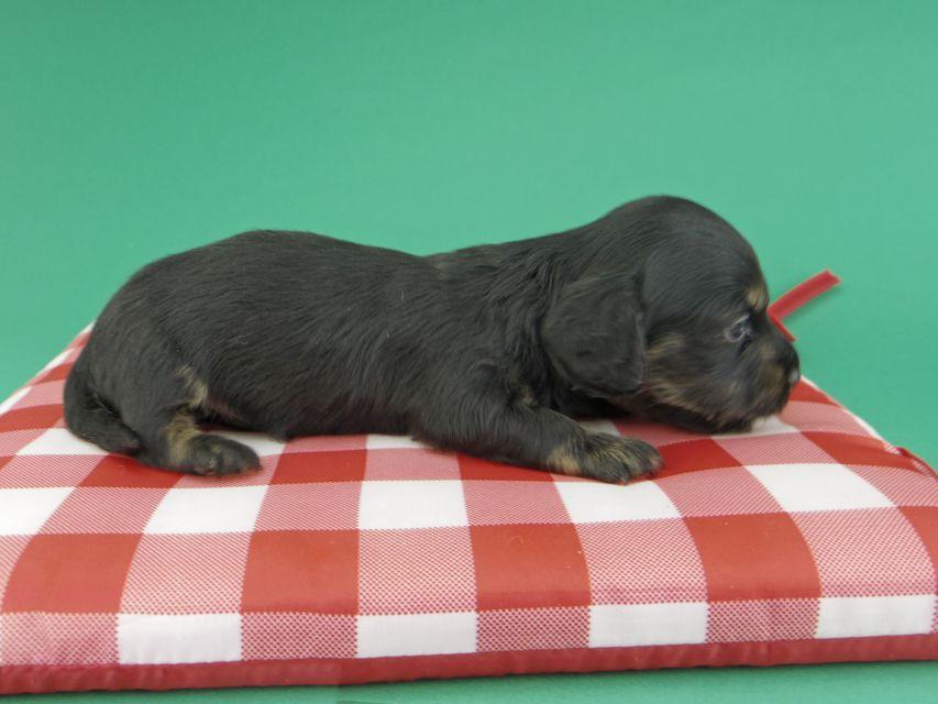 カニンヘンダックスフンド ジャム & ブルースの子犬 ブラックイエロー(ブラッククリーム) 男の子(2)