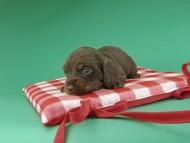 ジャム & ブルースの子犬 チョコタン 女の子