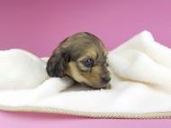 クム & スカッシュの子犬 イエロー 女の子(1) お写真初登場