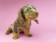 ゴマmt & バロンmtの子犬 チョコダップル 男の子