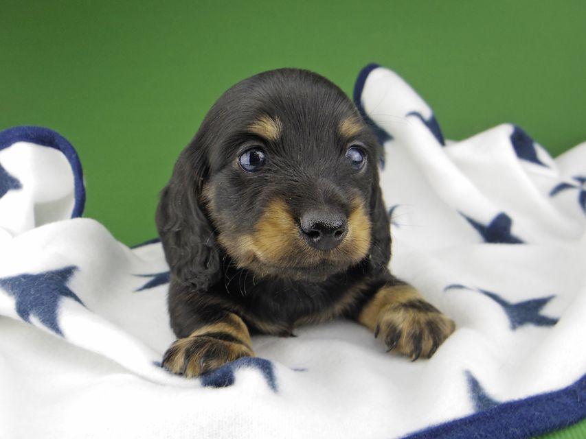 カニンヘン ダックスフンド クム & エレンの子犬 ブラックイエロー(ブラッククリーム) 男の子
