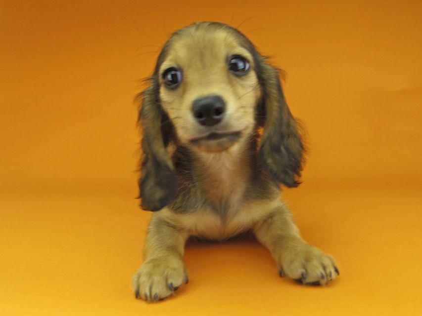 カニンヘンダックスフンド リンmt & ビルズmtの子犬 レディッシュイエロー(シェーデットクリーム) 女の子