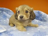 コットン & スカッシュの子犬 イエロー(クリーム) 女の子