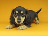 アビスmt & バロンmtの子犬 ブラックイエロー(ブラッククリーム) 男の子