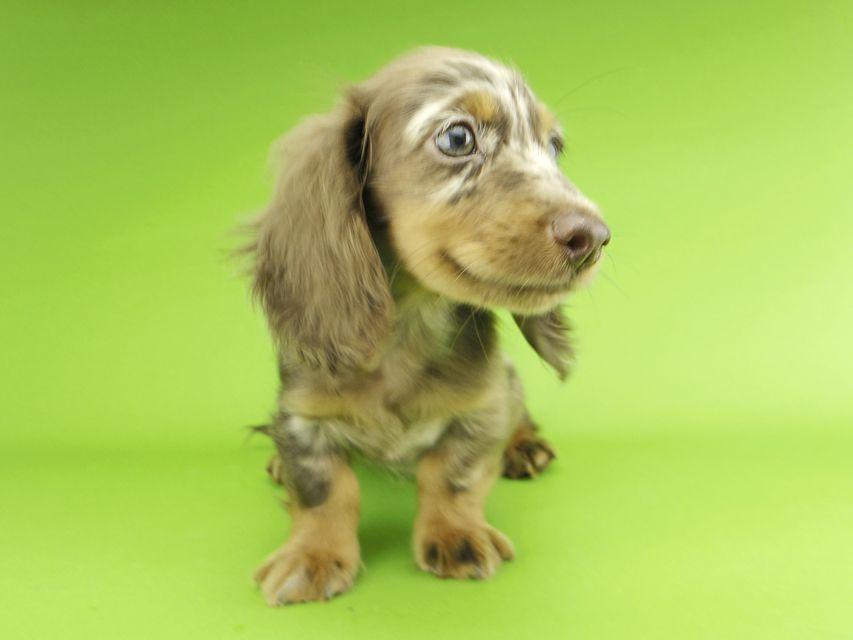 カニンヘンダックスフンド ゴマmt & バロンmtの子犬 チョコダップル 男の子