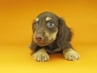 アビスmt & バロンmtの子犬 チョコイエロー(チョコクリーム) 男の子