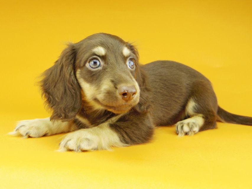 カニンヘンダックスフンド アビスmt & バロンmtの子犬 チョコイエロー(チョコクリーム) 男の子