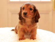 トマト & オスカーの子犬 レッド 男の子