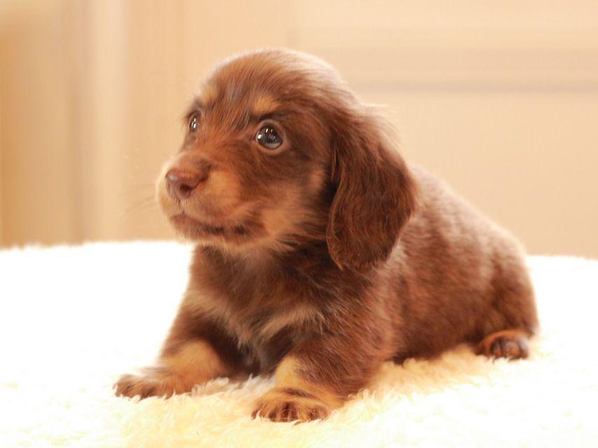 カニンヘン ダックスフンド ひなプリ & ナイトの子犬 チョコイエロー(チョコクリーム) 男の子