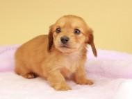 ププリン & スカッシュの子犬 レッド 男の子