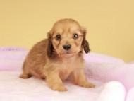 ププリン & スカッシュの子犬 シェーデットイエロー(シェーデットクリーム) 男の子