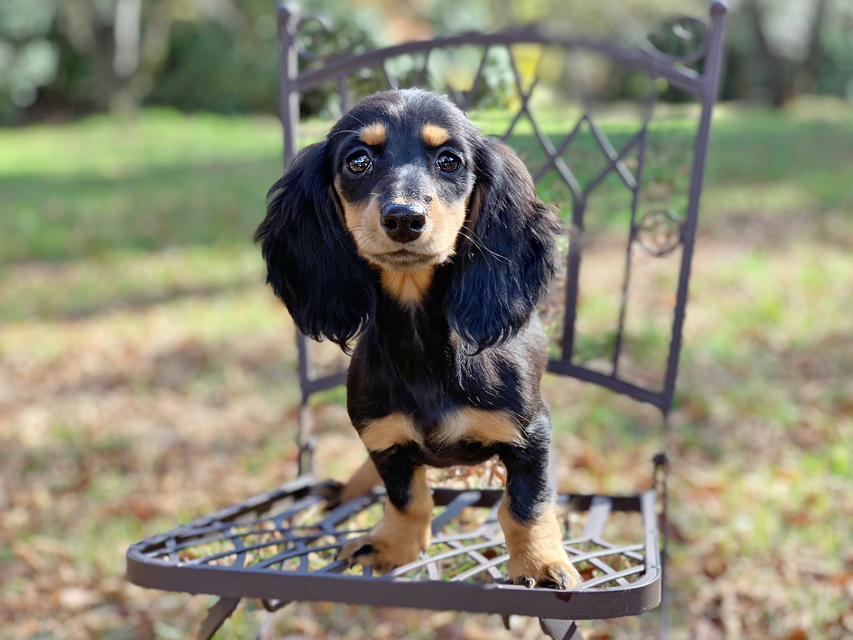 カニンヘンダックスフンド ルースmt & バロンmtの子犬 ブラックタン 女の子(2)
