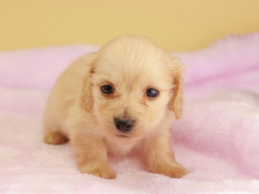 カニンヘン ダックスフンド ププリン & スカッシュの子犬 ペールイエロー(ピュアクリーム) 男の子
