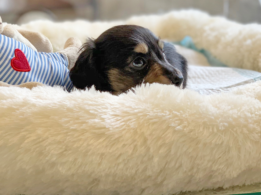 カニンヘンダックスフンド コリン & スカッシュの子犬 ブラックイエロー(ブラッククリーム) 男の子