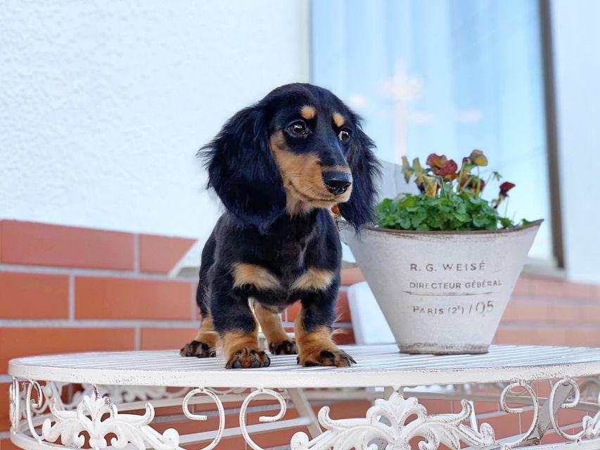 カニンヘンダックスフンド ルースmt & バロンmtの子犬 ブラックタン 女の子(1)