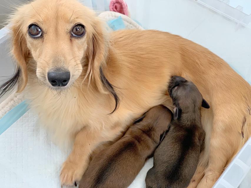 カニンヘン ダックスフンド こなゆき 10月26日 子犬の出産