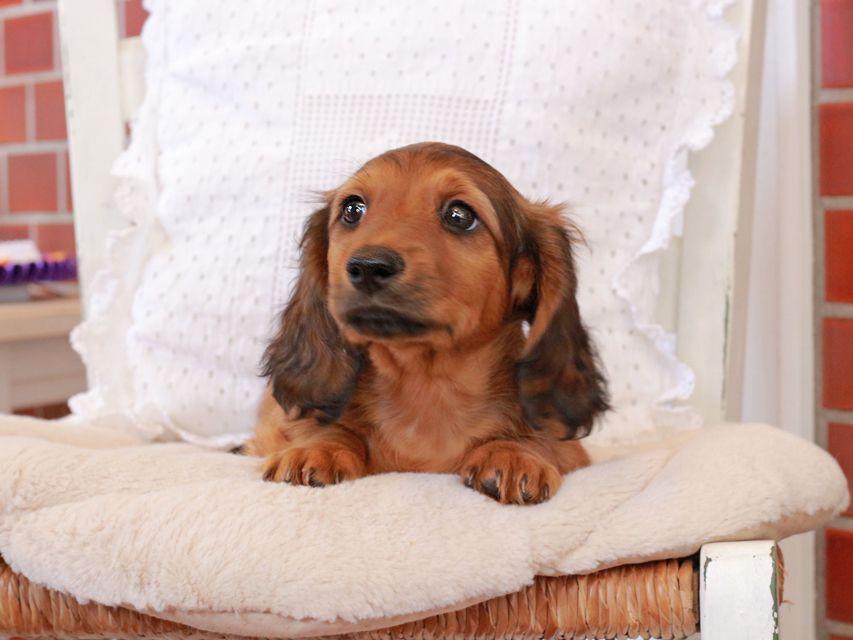 カニンヘン ダックスフンド ジャスミンの子犬 レッド 男の子
