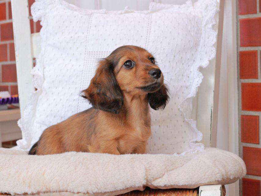 カニンヘン ダックスフンド ジャスミンの子犬 レッド 女の子
