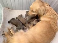 コットン 11月13日 子犬の出産