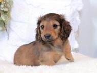 マシェリ & オスカーの子犬 レッド 女の子