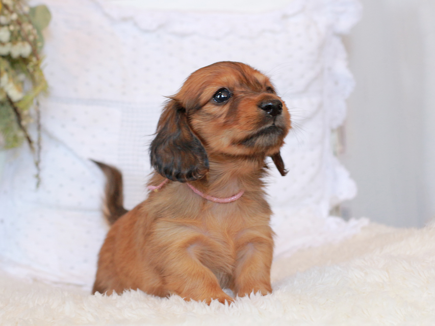 カニンヘン ダックスフンド シエラ&タケルの子犬 レッド 女の子(1)