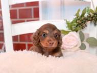ココ&朝日の子犬 チョコタン 男の子