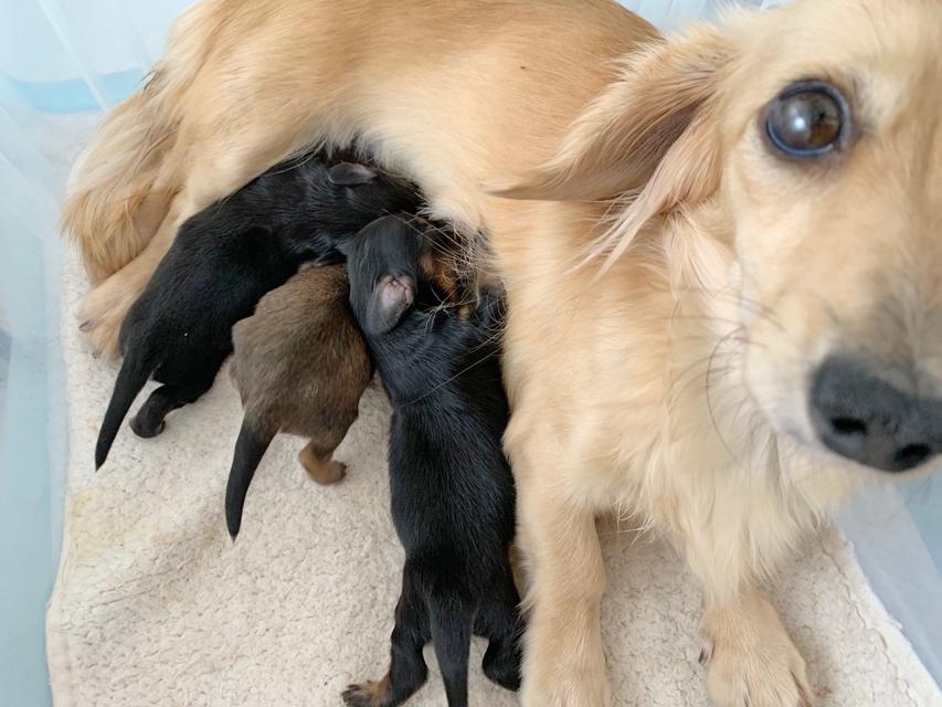 カニンヘン ダックスフンド シール 11月21日 子犬の出産