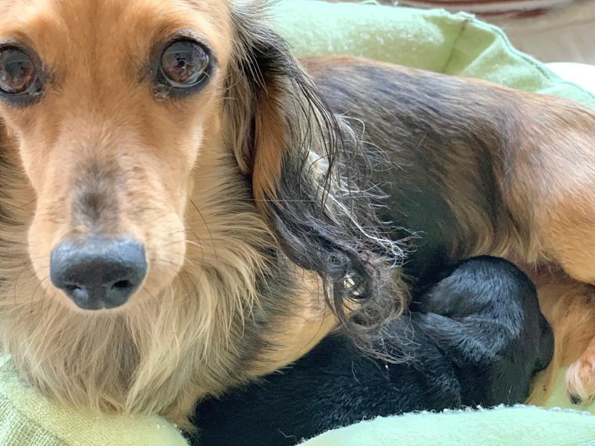 カニンヘン ダックスフンド クム 11月20日 子犬の出産