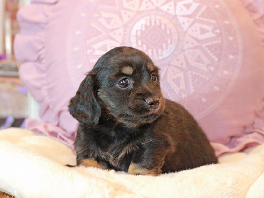 カニンヘン ダックスフンド ジェシーcs & ナイトの子犬 ブラックイエロー(ブラッククリーム) 女の子
