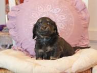 ジェシーcs & ナイトの子犬 ブラックイエロー(ブラッククリーム) 女の子