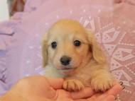 ソフィア & スカッシュの子犬 イエロー(クリーム) 男の子