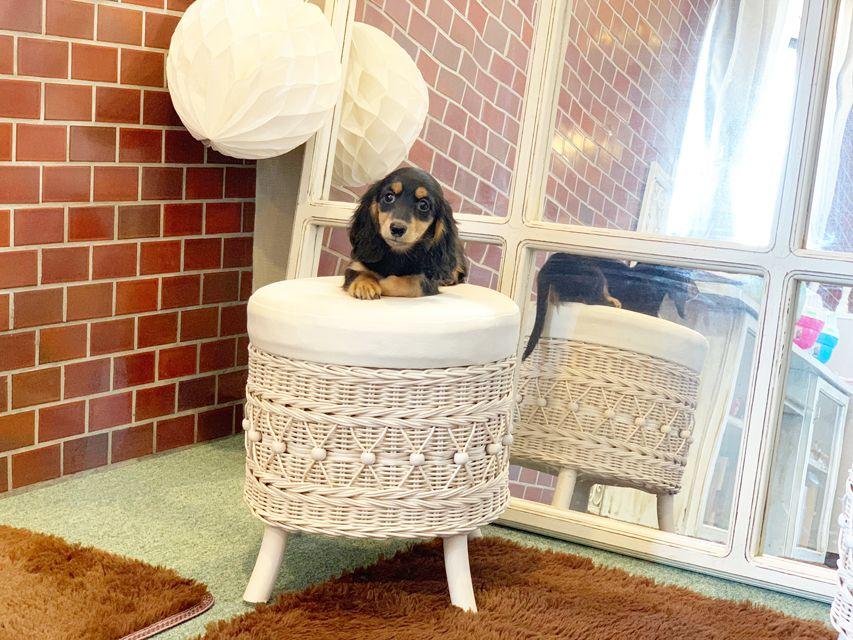 カニンヘンダックス ナンシーcs & ナイトの子犬 ブラックタン 男の子(1)