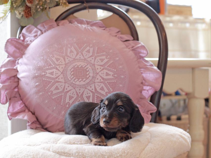カニンヘン ダックスフンド パセリ & ナイトの子犬 ブラックイエロー(ブラッククリーム) 男の子